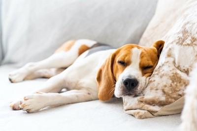 枕を使ってベッドで寝ている犬