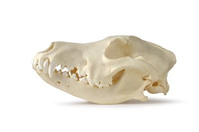 犬の頭蓋骨