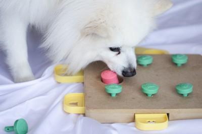 知育玩具で遊ぶ白い犬
