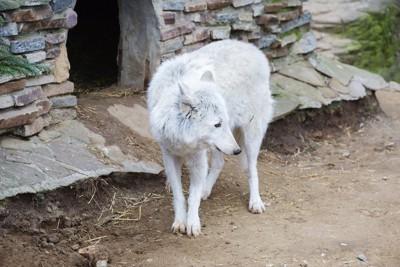 ツンドラオオカミ