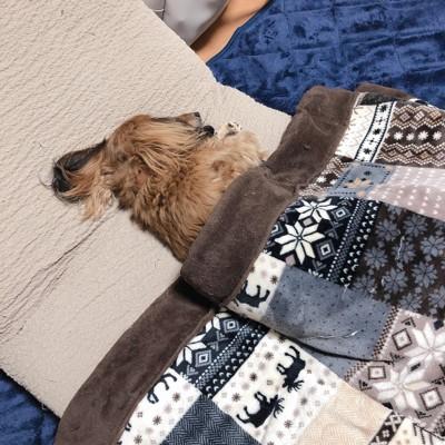 こたつ布団をかけて眠る犬