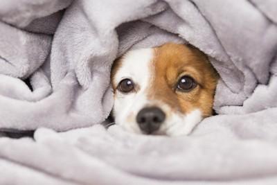 毛布をかぶっている犬