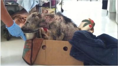 餌をたべる酷い皮膚病にかかった犬