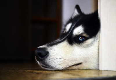 床に寝そべるハスキー犬の顔