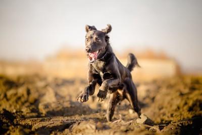 土の上を走る黒い犬