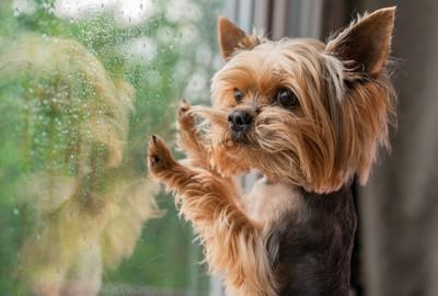 窓ガラスに手をついて見つめるヨーキー