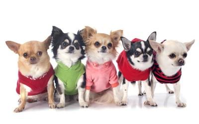 犬服を着た犬たち