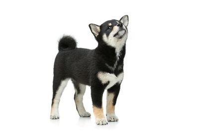 黒毛の柴犬