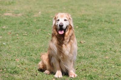 芝生でたたずむ犬