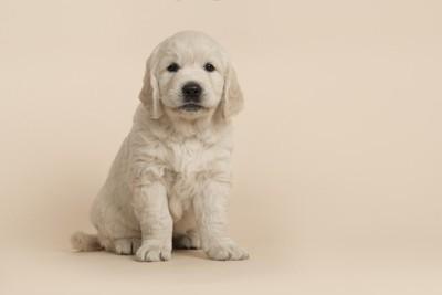 レトリーバーの子犬、薄いピンクの背景