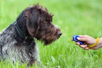 訓練中の犬とクリッカー