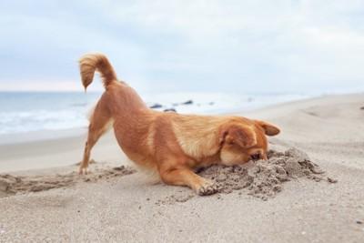 砂浜を掘って頭を突っ込む犬