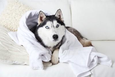 ソファーの上で白いタオルに包まれた犬