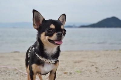 海辺でお散歩するスムースチワワ