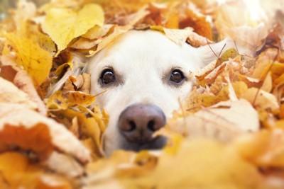 落ち葉から顔を出す犬