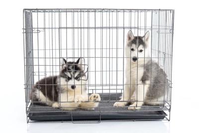 ケージに一緒に入っている2匹の子犬