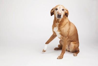 包帯をした右手を少しだけ上げている犬