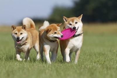 3頭でフリスビーを引っ張って遊ぶ柴犬