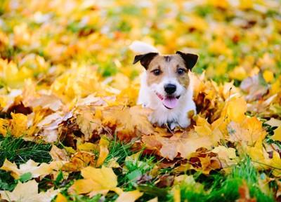 紅葉の中で笑っているように見える犬