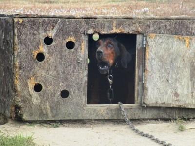 犬小屋で吠える犬