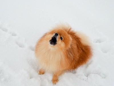 雪の上でこちらを見上げて吠えるポメラニアン
