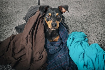 散らかった飼い主の服にまみれる犬