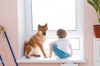 横座りの柴犬、窓辺
