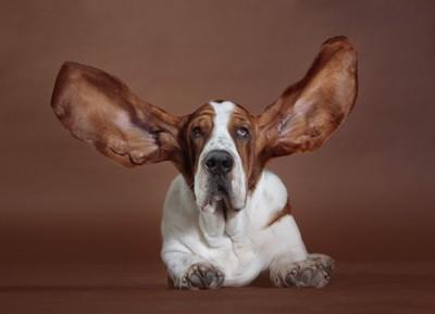 耳を広げたバセッド・ハウンド