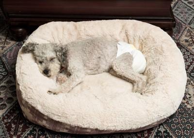 おむつをして寝ている犬