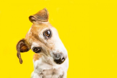 不思議そうに頭を傾ける犬