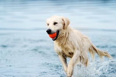 ボールとってくる犬