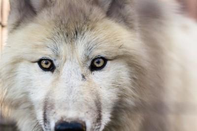 ホッキョクオオカミの正面顔