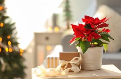 ポインセチアの鉢とプレゼント