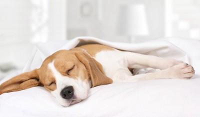 布団の上で横になって眠るビーグル犬