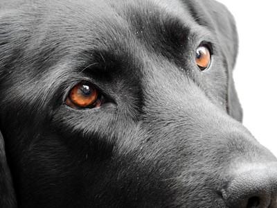 茶色の目の黒ラブ