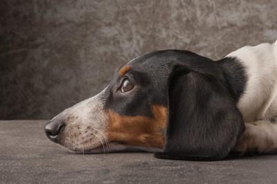 伏せの姿勢で上目遣いをする犬