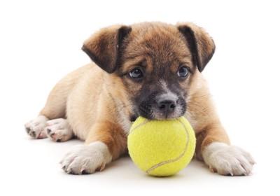 テニスボールと垂れ耳の子犬