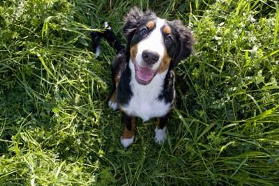 見上げるバーニーズ子犬