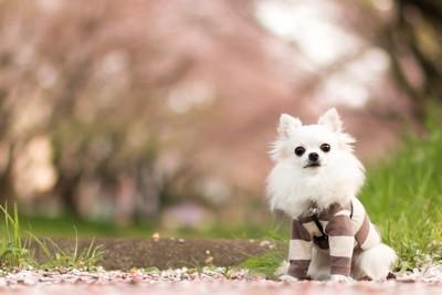 桜の下を歩くチワワ