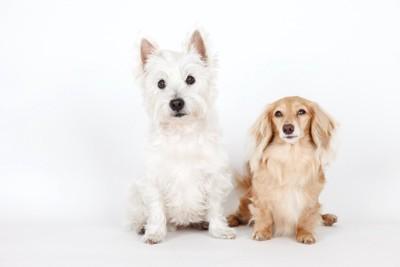 並んで座る立ち耳の犬と垂れ耳の犬