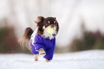 青い服を着て雪の上を歩くボールをくわえたチワワ