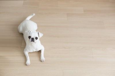 フローリングに伏せる白い犬