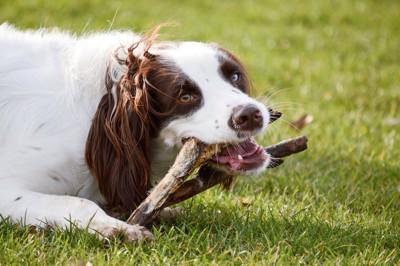 木の枝をかじっている犬