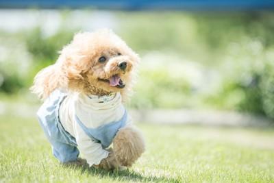 芝生を走る服を着たトイプードル