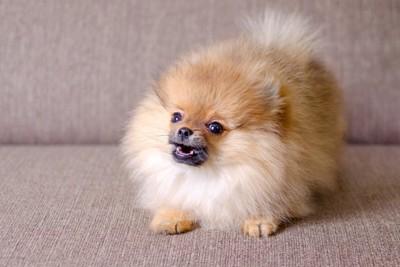 ソファーの上で吠える子犬