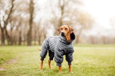 手足まであるジャケットを着た垂れ耳の犬
