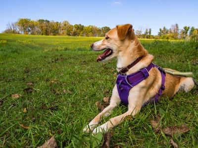 ハーネスを着けて芝生に座る犬