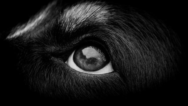 黒い犬の目