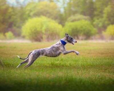 走るウィペット