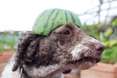 スイカの皮を頭にかぶる犬